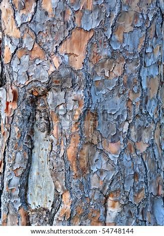 Detail of a Slash Pine tree trunk showing the peeling bark - stock photo