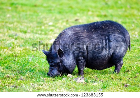Detail of a small black pig grazing on pastureland.