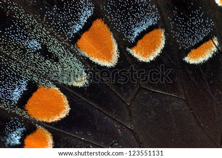 Detail of a Tiger Swallowtail Butterfly wing - stock photo