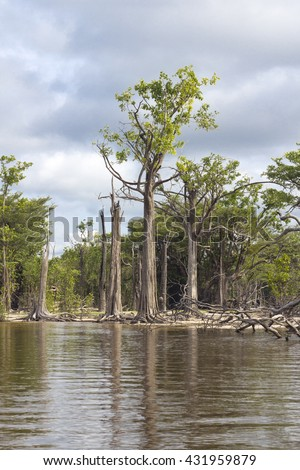 Detail of a tree and dried branches at amazon river with local vegetation in Brazil - stock photo