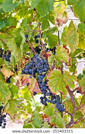 Detail of a typical European vineyard, Red Grapes on the Vine - stock photo