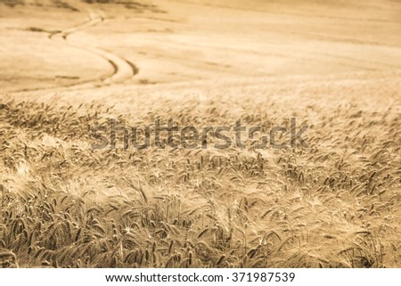 Detail of a vintage colored hilly field in growth with a path away at the background/Vintage Cornfield and Path to the Horizon - stock photo