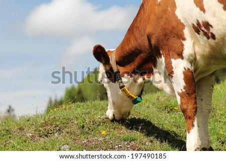 Detail of Alpine cows grazing in the Austrian Alps - stock photo