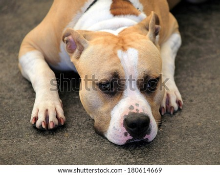 Detail of American Staffordshire Terrier - stock photo