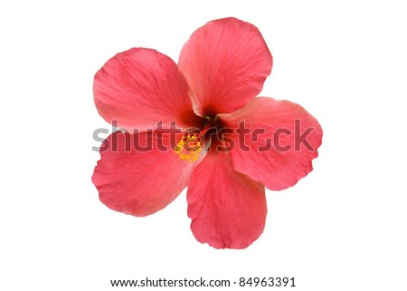 Detail of an isolated pink hibiscus on the white background