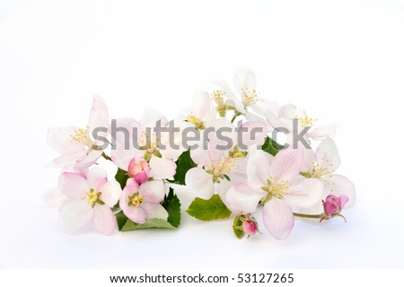 Detail of apple tree blossoms over white background - stock photo