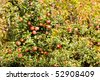 detail of apple tree with red apples - stock photo