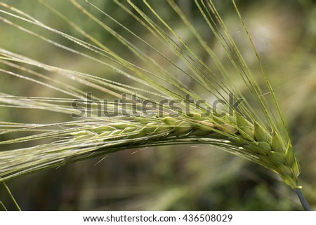 Detail of Barley Spikes  - stock photo