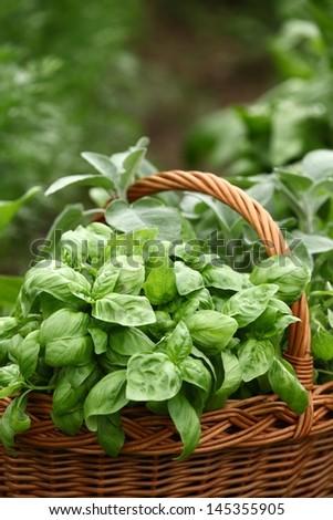 Detail of basket with fresh herbs (basil, sage,oregano) in the garden. - stock photo