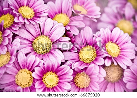 Detail of beautiful chrysanthemum for texture or others purpose use - stock photo