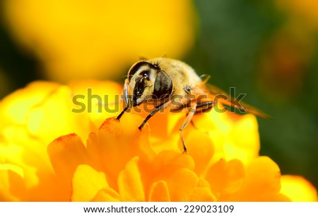 Detail of bee on yellow flower. Macro closeup image in garden.
