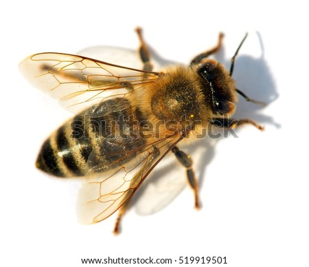 detail of bee or honeybee in Latin Apis Mellifera, european or western honey bee isolated on the white background, golden honeybee with shadow