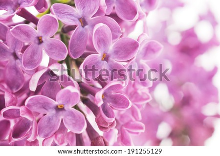 Detail of blooming violet lilac flower. Great for use as a background.