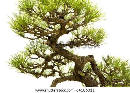 Detail of bonsai pine - stock photo