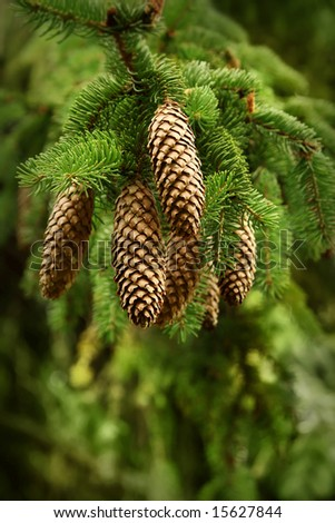 detail of branch of a young pine tree - stock photo
