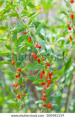 Detail of branch with goji berries - stock photo