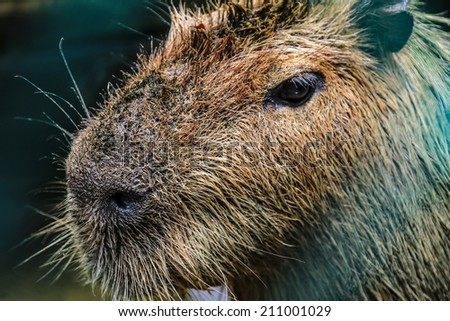 Detail of Capybara - stock photo