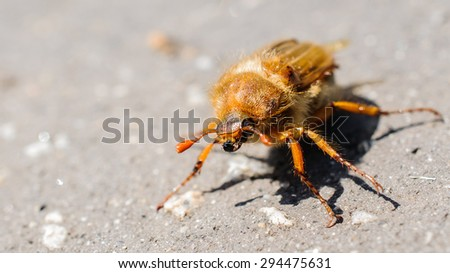 detail of cockchafer - stock photo