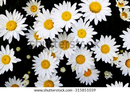 Detail of daisies daisy flowers with golden sunbeams spring summer sunshine - stock photo
