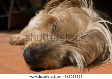 Detail of dog nose and snout, Cute Sleeping soundly Doggy Yorkshire Terrier brown doggie. Macro Closeup warm in the sun