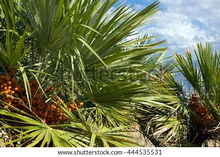 Detail of dwarf palm tree in the Zingaro Nature Reserve, Trapani province - Italy
