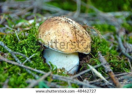 Detail of edible boletus in a forest. - stock photo