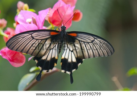 Detail of female great mormon (Papilio memnon agenor) butterfly perching on pink flower - stock photo