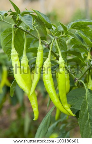 detail of fresh green pepper branch in culture field - stock photo