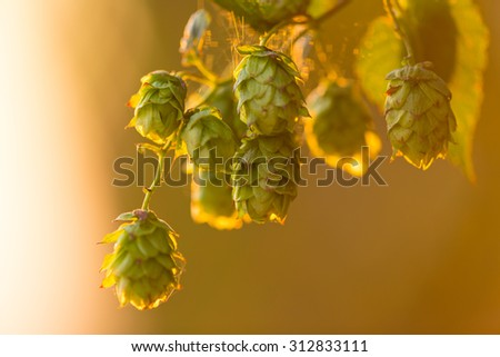 Detail of fresh hops cones - stock photo