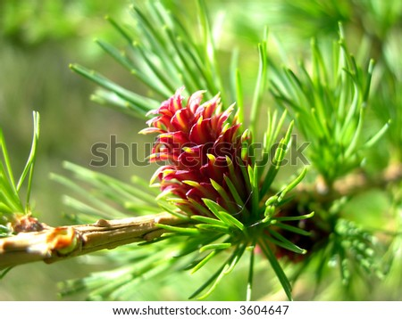 Detail of fresh red larch cone and needles - stock photo
