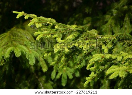 Detail of fresh spruce branch in forest - stock photo