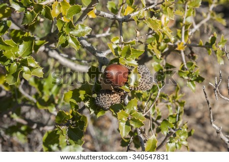Detail of fruits, leaves and branches of Kermes Oak, Quercus coccifera. It is native to the Mediterranean region and Northern African Maghreb. Photo taken in Buendia, Cuenca, Spain. - stock photo