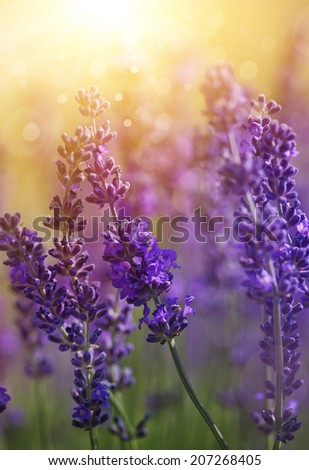 Detail of garden lavender flowers - stock photo