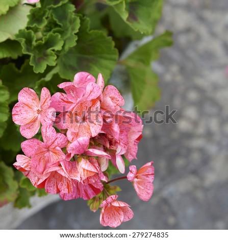 detail of geranium in a meadow in la spezia - stock photo
