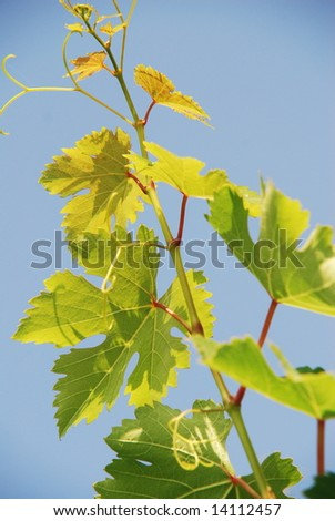 detail of grape leaves - stock photo