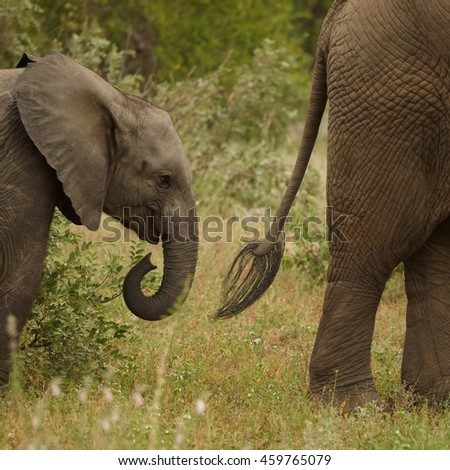 Detail of head of juvenile African Bush Elephant,Loxodonta africana, following mother's tail. South Africa, Timbavati game reserve - stock photo