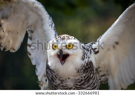 Detail of Head of Snowy Owl with Yellow Eyes, Beak Open and Wings Spread Out - Bubo Scandiacus with Blurred Dark Green Background Ready to Fly - stock photo