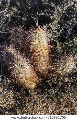 Detail of hedgehog cactus in Joshua Tree National Park, California - stock photo