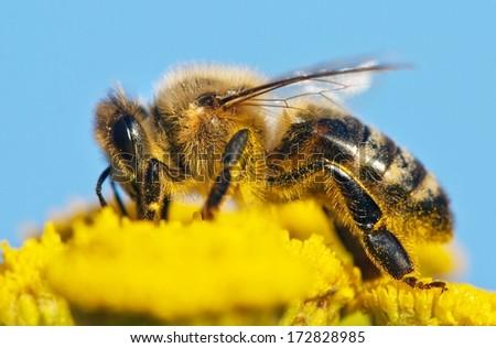 detail of honeybee  - stock photo