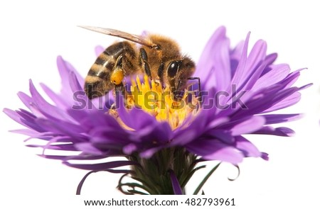 detail of honeybee (Apis mellifera) sitting on the violet flower