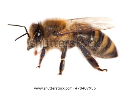 detail of honeybee isolated on the white background