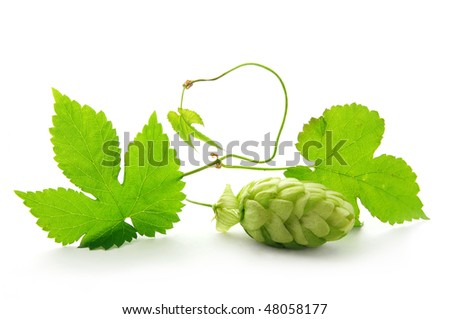 Detail of hop cone and leaves on white background - stock photo