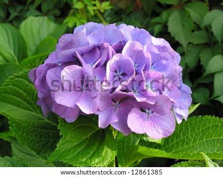Detail of hydrangea or hortensia flower. Hydrangea macrophylla - stock photo