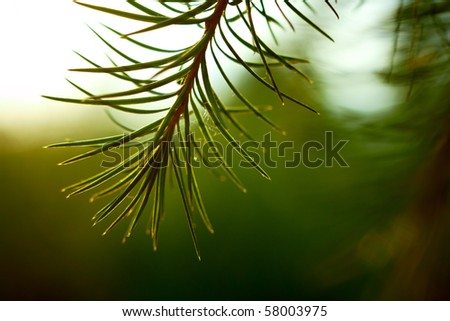 Detail of larch branch. Shallow DOF. - stock photo