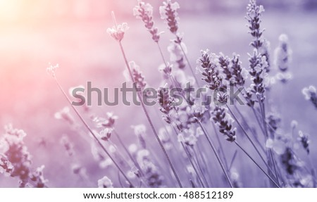 Detail of lavenders in purple tone. Beautiful summer background.