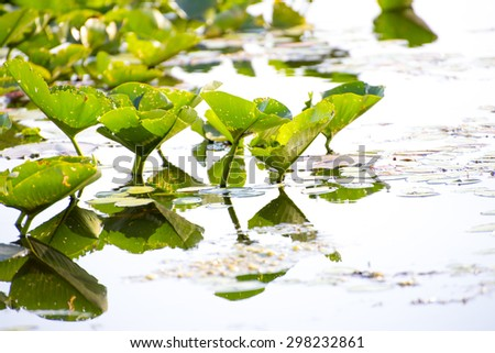 Detail of lilly pads reflected on water, Point Pelee national park, Ontario, Canada - stock photo