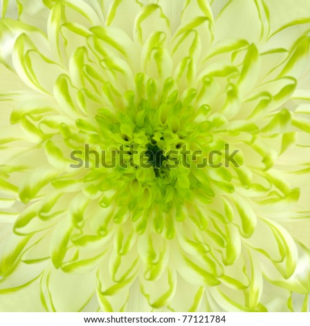 Detail of Lime Green Chrysanthemum Flower Square Backround - stock photo