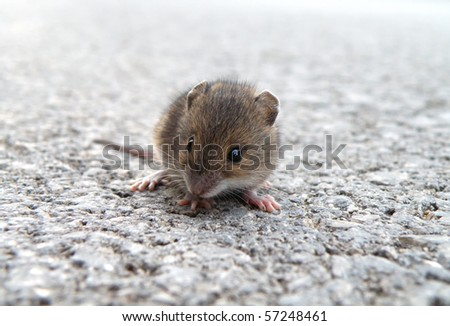 detail of little mouse sitting on high way
