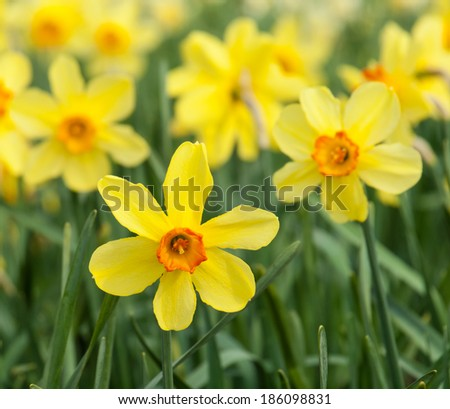 detail of  long stemmed yellow and orange trumpet daffodils in a daffodil field - stock photo