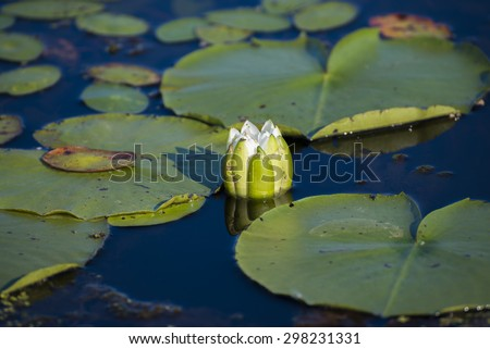 Detail of lotus flower and lilly pads on the water - stock photo